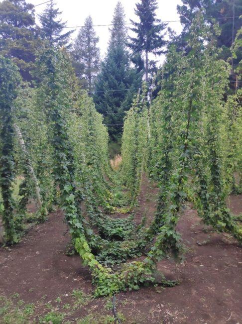 CUlture de houblon sur le ciruito chico de bariloche en argentine