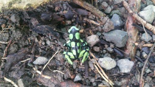 Petite grenouille noire et verte