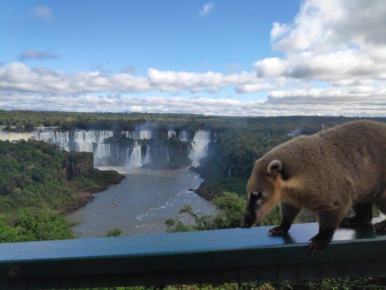 Coati devant une vue sur les chutes diguazu
