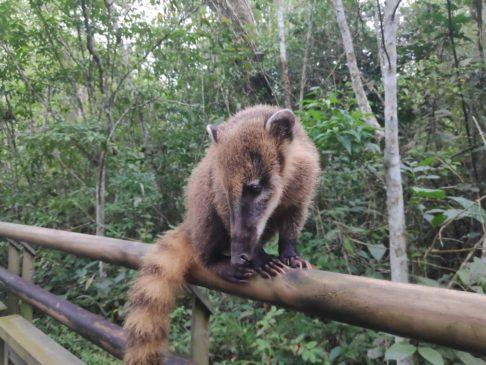 Coati dans le parc national iguazu en argentine