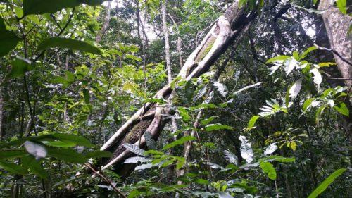 Parasite entrelacé autour d'un arbre