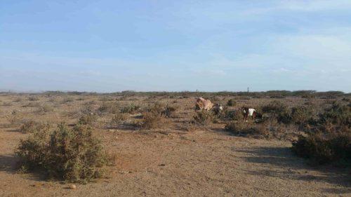 Chèvress broutant dans le désert