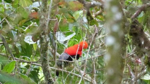 Oiseau à tête rouge nommé Gallito de las rocas