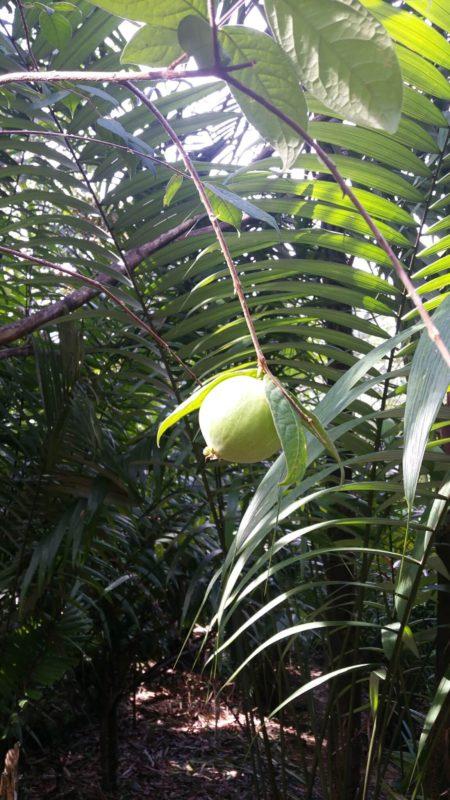Fruit dans un arbre