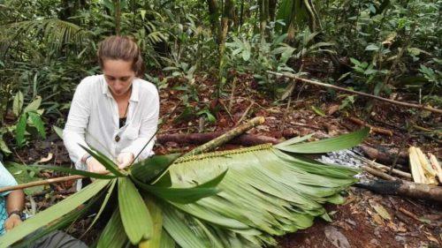 Tissant des lianes en Amazonie colombienne en amérique du sud