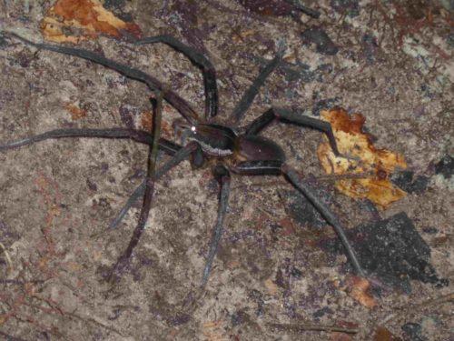 Araignée noire à grandes pattes