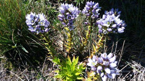Fleur bleue de montagne