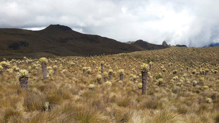 Montagne et champ de frailejones