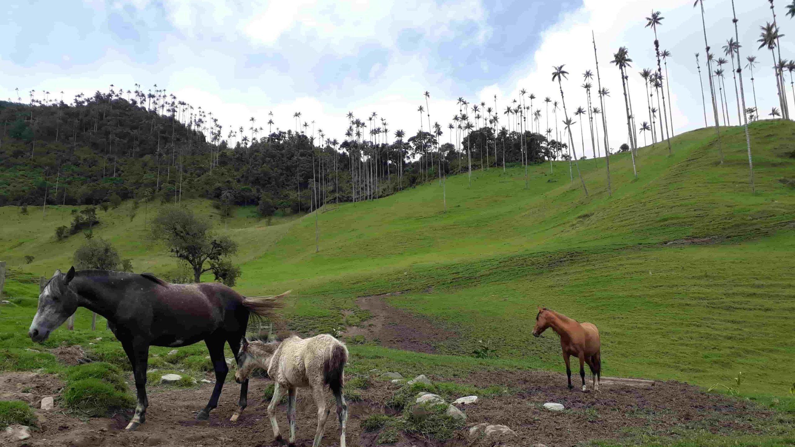 Chevaux et un poulain dans la Vallée de Cocora