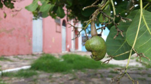 Fruit de caju sur un arbre
