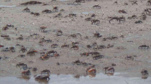 Crabes sur le sable