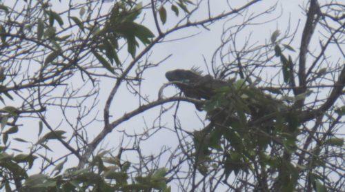 Iguane sur une branche