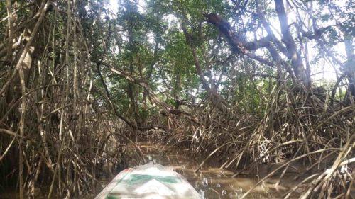 Mangrove d'igarapé