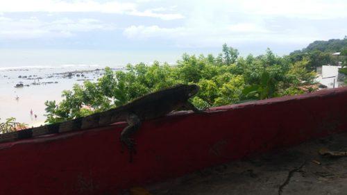 Iguane sur un muret de la praia do centro