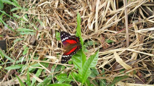 Papillon rouge sur le sol