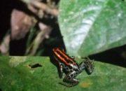 Petite grenouille noire et rouge sur une feuille