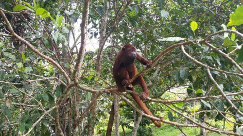 Singe sur une branche