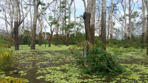 Végétation à la surfae de l'eau entre les arbres