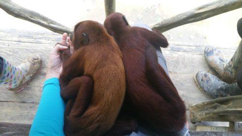 Deux singes allongés sur mes genoux