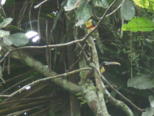 Toucans perchés sur une branche