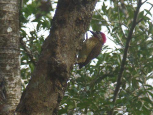 Pivert sur un arbre