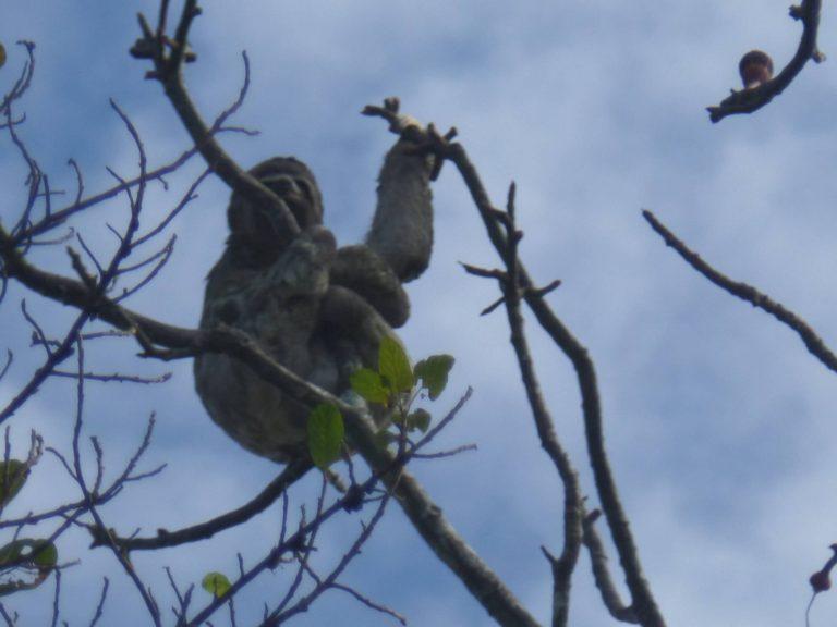 Paresseux agrippé à une branche