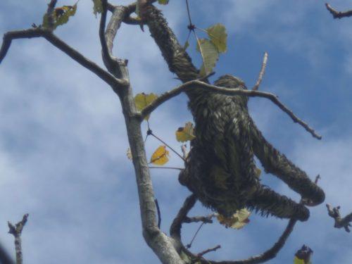 Paresseux passant d'une branche à l'autre