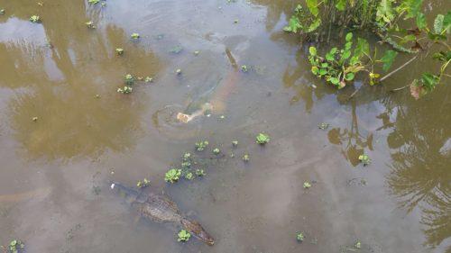 Poisson géant et crocodile