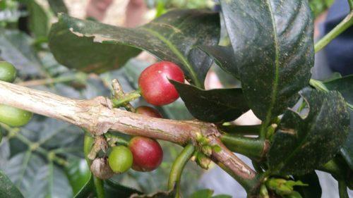 Graines de café sur l'arbre