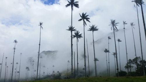 Palmiers de la Vallée de Cocra dans la brume
