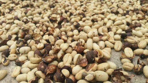 Graines de café séchés