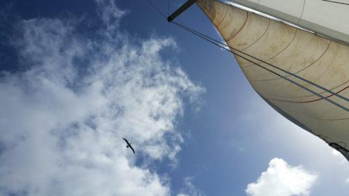 Cormoran au dessus du voilier